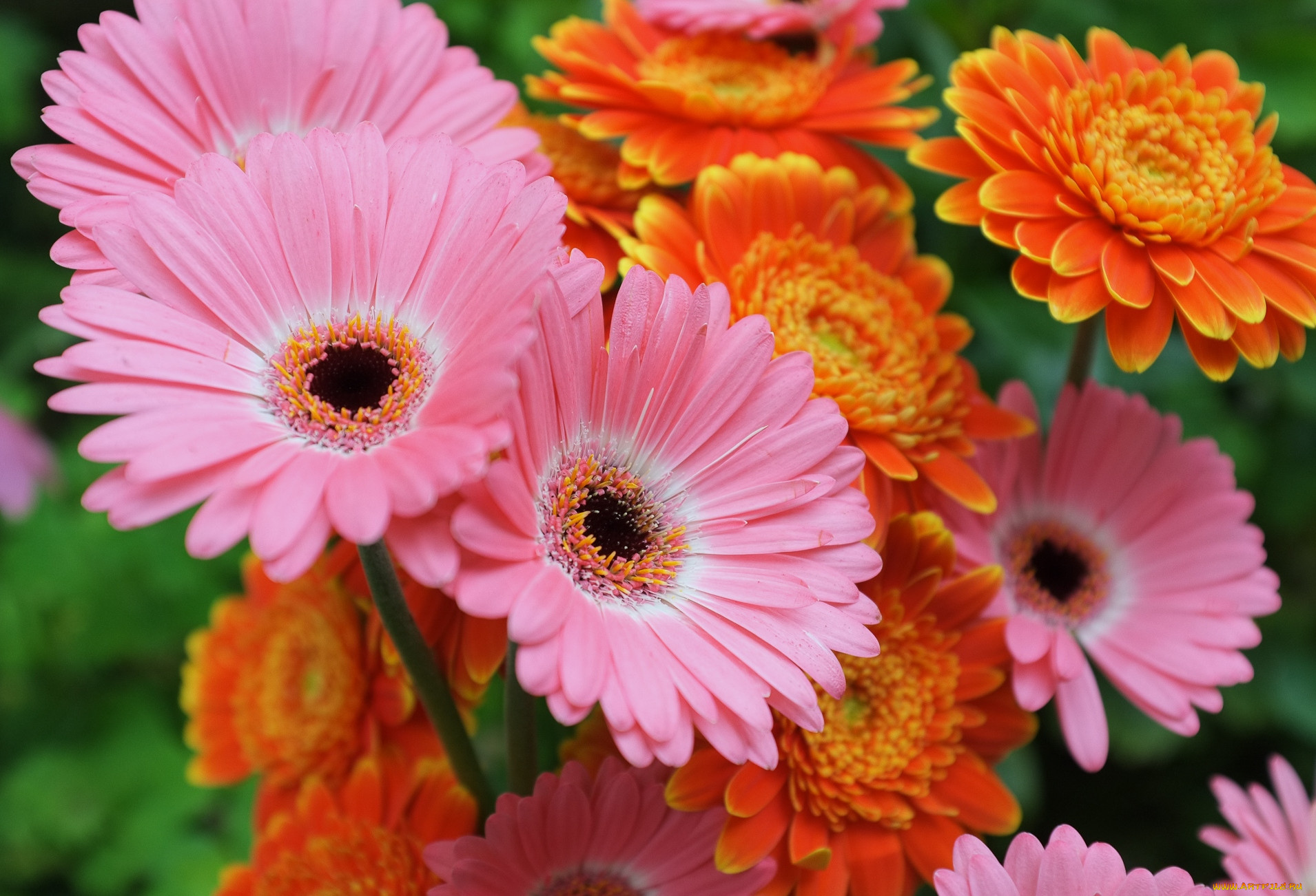 Цветущие герберы фото